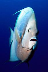 gray angelfish, Pomacanthus arcuatus, Paso del Cedral, Cozumel, Yucatan, Mexico, Caribbean, Atlantic Sea