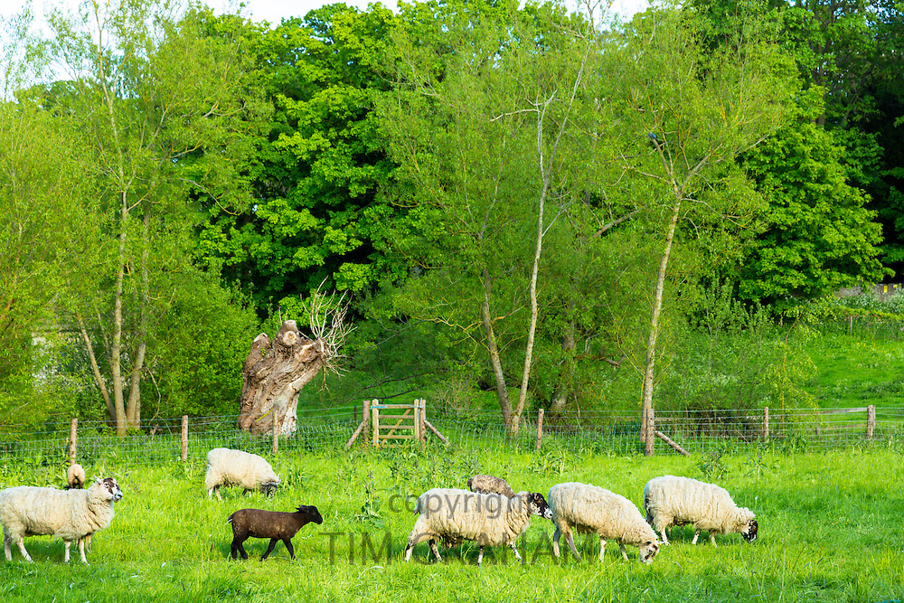 One black sheep among flock of white sheep in meadow in Eastleach Martin in The Cotswolds, UK