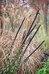 Digitalis ferruginea seedheads