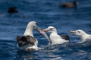 Shy Albatross (Thalassarche cauta) & Black-browed Albatross (Thalassarche melanophrys)<br /> South of South Africa<br /> Western Cape<br /> South Africa<br /> 60 miles south of Gansbaai