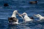 Shy Albatross (Thalassarche cauta) & Black-browed Albatross (Thalassarche melanophrys)<br /> South of South Africa<br /> Western Cape<br /> South Africa<br /> 60 miles south of Gansbaai