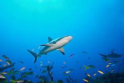 Caribbean reef shark, Carcharhinus perezi, West End, Bahamas, Atlantic Ocean