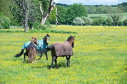 © Licensed to London News Pictures 24/05/2021. Sidcup, UK. Between the rain comes the sun for these three playful horses grazing in a yellow field of Buttercups in Sidcup, South East London. Photo credit:Grant Falvey/LNP