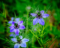 Love in a Mist flower. Image taken with a Fuji X-H1 camera and 80 mm f/2.8 macro OIS lens.