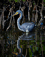 Tricolored Heron. Blackpoint Wildlife Drive, Merritt Island National Wildlife Refuge. Image taken with a Nikon D4 camera and 500 mm f/4 VR lens (ISO 900, 500 mm, f/5.6, 1/2000 sec).
