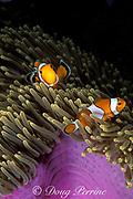 false clown anemonefish, Amphiprion ocellaris, in magnificent sea anemone, Heteractis magnifica, Similan Islands, Thailand ( Andaman Sea, Indian Ocean )