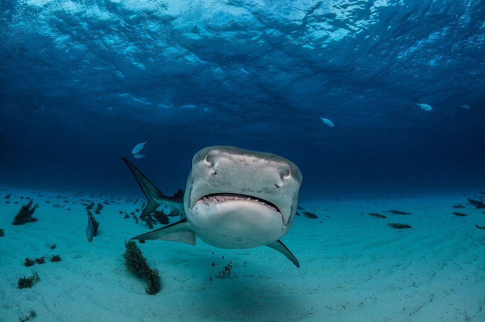 A tiger shark (Galeocerdo cuvier) in the shallows of The Bahamas.