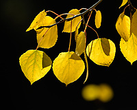 Close up of backlit yellow aspen leaves against a dark background, Colorado, USA