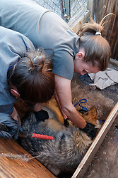 Biologists preparing Mexican wolf for testing and medical procedure at wolf management facility, Ladder Ranch, west of Truth or Consequences, New Mexico, USA.