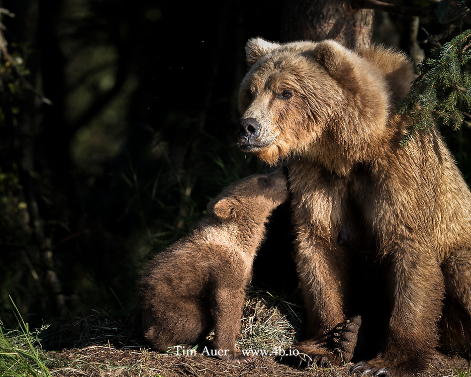 Bear traps, made of redwood, were still visible as recent as 1952, in the Santa Lucia mountains of Monterey County.