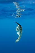 Ocean sunfish, Mola mola, Pico, Azores, Portugal