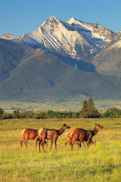 Elk on the National Bison Rnage, Montana.