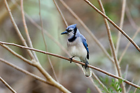 Blue Jay (Cyanocitta cristata),  Green Cay Nature Area, Delray Beach Florida