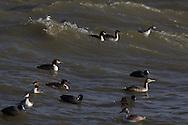 Storm op het IJsselmeer. Storm op het IJsselmeer. Futen en meerkoeten zoeken beschutting nabij het Monument op de Afsluitdijk.