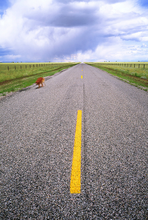 Edition of 49 includes all sizes<br /> Golden Retriever - Sonny Boy - moves along edge of road in Eastern Idaho during a long exposure with summer storm clouds brewing in background and fresh yellow line on road