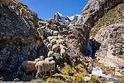 """Sheep flock up the trail by a waterfall in Huanacpatay Valley under Nevado Cuyoc (Puscanturpa Sur, 5550 meters) in Cordillera Huayhuash in the Andes Mountains, Peru, South America. Day 6 of 9 days trekking around the Cordillera Huayhuash. Published in """"Meridiani Montagne Speciale Ande 3"""" magazine 10 December 2014 on two thirds of page 70, by Editoriale Domus S.p.A. Milan, Italy."""