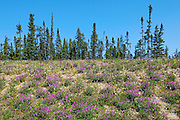 Wild Sweet Pea and black spruce trees in boreal forest<br />  Yellowknife Highway near Fort Providence<br /> Northwest Territories<br /> Canada