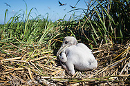 Baby pelican on a barrier island in Barrataria Bay off the coast of Plaquimes Parish.