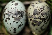 Küstenseeschwalbe, Küsten-Seeschwalbe, Nest, Gelege mit Eiern, Seeschwalbe, Sterna paradisaea, Arctic tern