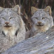 Canada Lynx, (Lynx canadensis) Portrait of pair. Rocky mountains. Montana. Winter. Captive Animal.
