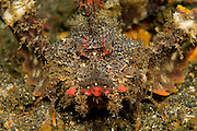 Spiny Devilfish (Inimicus didactylus) photographed in Lembeh Strait, Indonesia. Part of the scorpionfish family, the devilfish lives only in the tropical Pacific Ocean can deliver a painful and venomous sting with its dorsal fins.