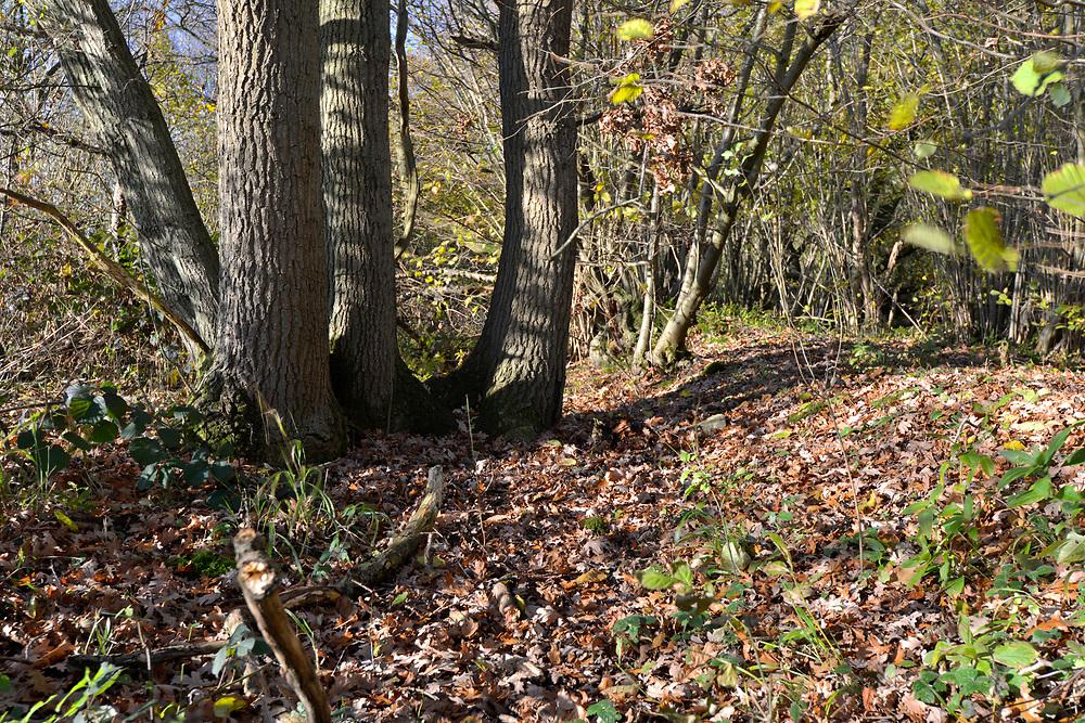Pollarded Oak on ancient woodland boundary, Stoke Wood, Oxfordshire.