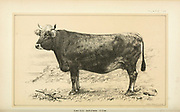 Swiss Brown Cow from Cattle and dairy farming. Published 1887 by Govt. Print. Off. in Washington. United States. Bureau of Foreign Commerce (1854-1903)