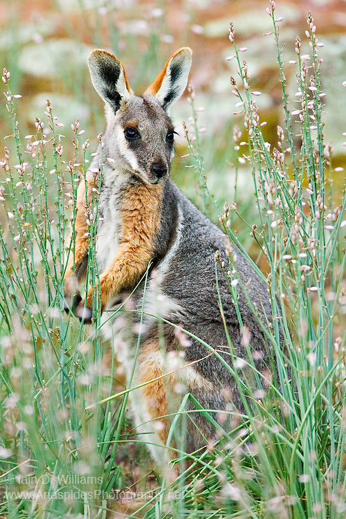 Distinctly ornamented rock wallaby once very common in inland areas of mainland Australia, however, now uncommon due to over hunting in the 1800's and early 1900's. competition for land (agriculture) and introduced animals.   Small populations can be observed in remote regions.  Natural predator is the Wedge Tailed Eagle.  During the day wallabies remain hidden along steep cliffs and overhangs, only coming to browse along watercourses during the early morning and late afternoon