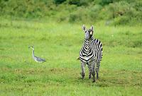 Grant's Zebra, Equus quagga boehmi, and Black-headed Heron, Ardea melanocephala, in Arusha National Park, Tanzania