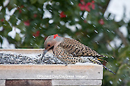 01193-016.11 Northern Flicker (Colaptes auratus) male on sunflower tray feeder in winter, Marion Co., IL