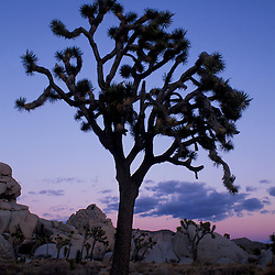 Joshua Tree N.P., CA. Joshua tree and moon in Hidden Valley, Wonderland of Rocks.