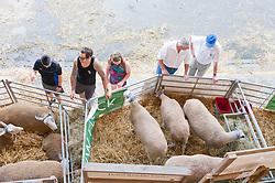 © Licensed to London News Pictures. 23/07/2019. Llanelwedd, Powys, UK. Visitors admire Blue  Faced Leicester sheep on the second day of the 100th Royal Welsh Agricultural Show. Founded in 1904, the Royal Welsh Agricultural Show is hailed as the largest and most prestigious event of its kind in Europe, with in excess of 200,000 visitors usually expected for the annual four day show period. Photo credit: Graham M. Lawrence/LNP