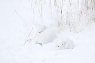 01863-01415 Two Arctic Foxes (Alopex lagopus) in snow Chuchill Wildlife Mangaement Area, Churchill, MB Canada