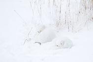 01863-01415 Two Arctic Foxes (Alopex lagopus) in snow Chuchill Wildlife Mangaement Area, Churchill, MB Canada