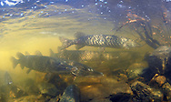 Group of Northern Pike<br /> <br /> Paul Vecsei/ENGBRETSON UNDERWATER PHOTO
