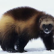 Wolverine adult in the Rocky Mountains of Montana during winter. Captive Animal