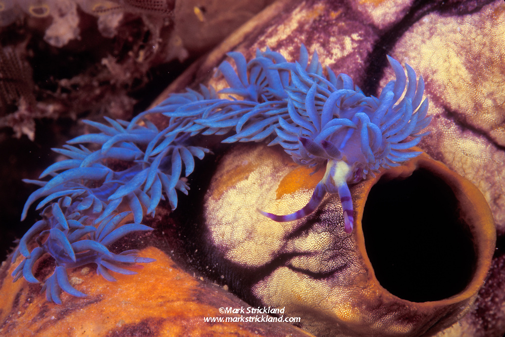 Nudibranch, Pteraeolidia ianthina, sometimes known as Purple Dragon, crawling on a tunicate. Thought to benefit from photosynthsizing symbiotic algae living within its tissues. Raja Ampat Islands, West Papua, Indonesia, Pacific Ocean