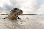 Curious seal at the beach at Española Island, Galapagos | Nysgjerrig sel på badestranda.