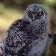 5 week old great gray owl chick in nest in an old growth forest during spring.