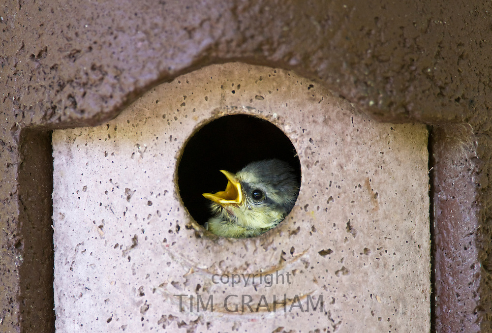 Bluetit hungry young nestling bird cheeping in a garden bird box, The Cotswolds, Oxfordshire, England, United Kingdom