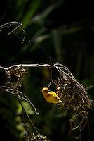 A male Golden Weaver Bird dismantling an old nest in Mombasa, Kenya