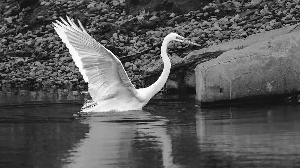 A White Egret Spreads it's wings as it begins to lift off from the water