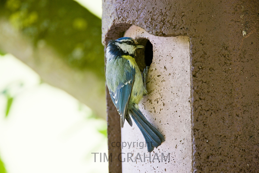 Bluetit bird at a garden bird box, The Cotswolds, Oxfordshire, England, United Kingdom