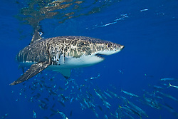 great white shark, Carcharodon carcharias, with schooling mackerel scad, Decapterus macarellus, off Guadalupe Island, Mexico, East Pacific Ocean