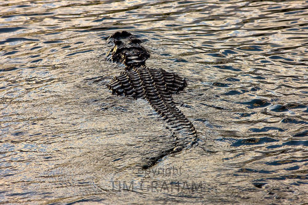 Alligator along Turner River, Everglades, Florida, USA