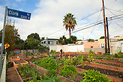 The Venice Community Garden on October 24, garden members are starting to harvest their crops. The Venice Community Garden broke ground in April, 2010. Soil tests revealed high levels of arsenic and lead because of previous uses which included a railroad line going through the lot. Steps were taken which included adding protective layers and adding new soil. Planting began in August and the first harvest was in October, 2010. Venice, California, USA