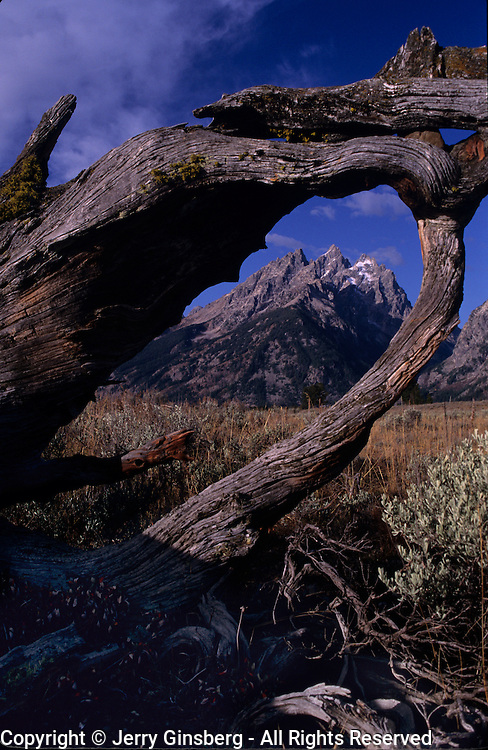 Grand Teton range rises sharply into the Wyoming sky framed by a fallen limber pine in Grand Teton national park, WY.