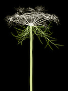 X-ray of Queen Anne's Lace, Daucus carota, New York.