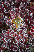 Frosted subalpine plants