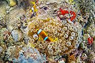 Red sea Clown fish (Amphiprion bicinctus)
